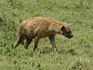 hyena-ea31b30f2a_640